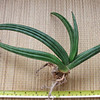 Sanseveria 'Ed Eby' before potting. <br /> <br /> 'Ed Eby' is of hybrid origin and shall have been rescued by the eponymee from the USDA-planting of Sansevierias at Koko-Crater, Hawaii. The putative parental species are S. canaliculata x S. pearsonii (Jankalski). Its leaves are rough like fine sandpaper.<br /> <br /> Sansevieria 'Ed Eby' was validly published by Jankalski in Sansevieria No. 15: 9 (2006). 'Ed Eby' is a new name for Sansevieria patens hort. not N.E. Brown (1915). Sansevieria patens N.E. Brown (1915) can not certainly be identified, and the plant traded under that name was given the name 'Ed Eby'.