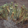 Euphorbia paralias, also occurs on the Canary Islands, here in the sand dunes at El Médano, Tenerife