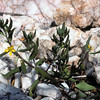 Talinum arnotii Hook. f (Talinaceae, formerly Portulacaceae) growing between quartz rocks.<br /> The species is widespread in central and northern Namibia, southern Zimbabwe, Zambia and northern South Africa and the only species of the genus in the Kaokoveld<br /> The annual flowering branches are formed at the tip of a turnip-like, branched underground caudex.<br /> Talinum arnotii differs in its large, broad leaves and also in its 2 (to 3)-flowered inflorescence from other yellow-flowered Talinum species in southern Africa  (Toelken 1969).