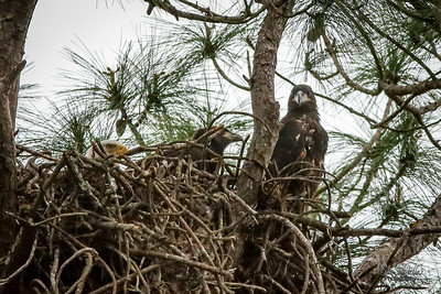 Three Eagles in a Nest