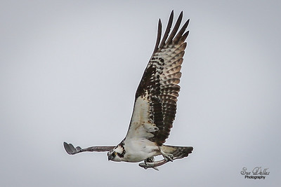 Osprey with fresh caught dinner.