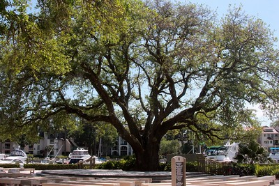 Oak Tree that Harbour Town was built around