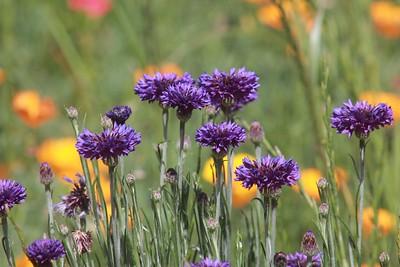 Warner W. Plahs Wildflower Field