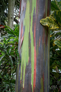 Rainbow Eucalyptus Tree Bark