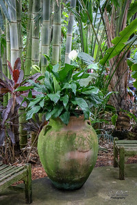 Spathiphyllum (Peace Lily )