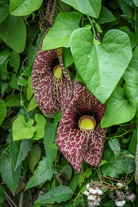 Calico Flower (Dutchman's Pipe)
