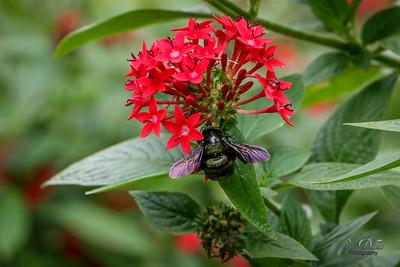 Black Carpenter Bee on Red Penta Flower