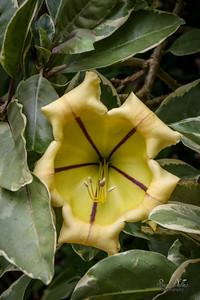 Golden Chalice Flower