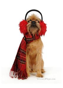 Brussels Griffon Dog wearing ear muffs