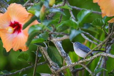 A Blue-Grey Gnatcatcher