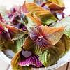 Bicolored shiso leaves.  © 2021 Sugar + Shake