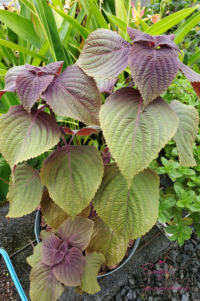 Bicolor shiso starter bush. The underside of the leaves are red while the tops are green.  © 2021 Sugar + Shake