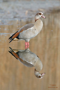 Ouette d'Egypte/Egyptian goose