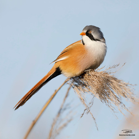 Panure à moustaches/Bearded reedling