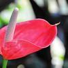 Genève - Jardin botanique - Anthurium andreanum