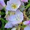 Genève - Jardin botanique - Iris du Missouri