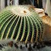 "Genève - Jardin botanique - Echinocereus Grusonii, ""Coussin de belle-mère"""