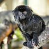 Zoo de Servion - Tamarin de Goeldi (Amérique du Sud)