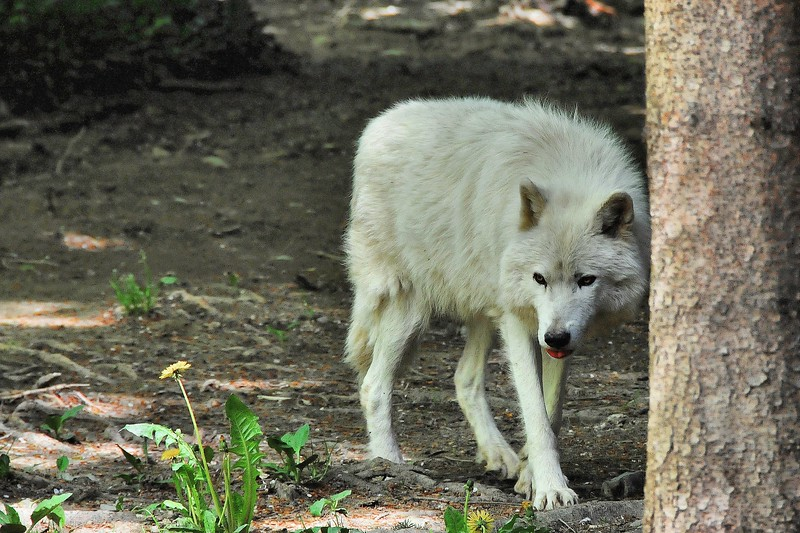 Zoo de Servion - Loup blanc de l'Arctique (Arctique)