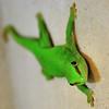 Tropiquarium de Servion - Gecko géant de Madagascar (Madagascar)