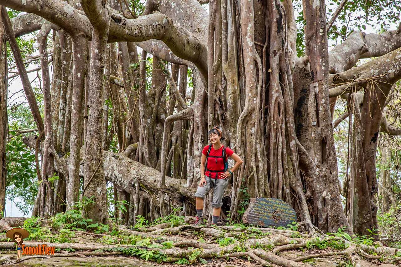 หากเจอต้นไทรใหญ่ๆ ก็แสดงว่าเพื่อนๆ เดินมา 3 กิโลเมตรแล้วจ้า เดินป่าเขาหลวงสุโขทัย ขึ้นเขาหลวงสุโขทัย