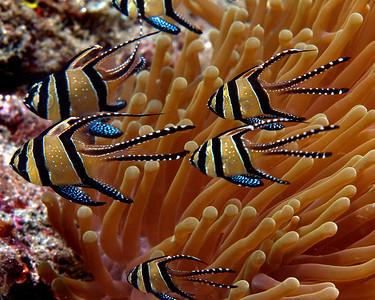 Banggai cardinal fish