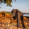 A juicy morsel - they search for fruits and also grubs