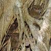 Members of a Spectral Tarsier family in their sleeping tree