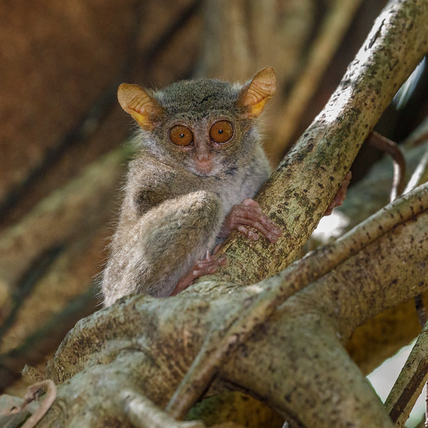 Huge eyes to see in the dark, and enormous ears to hear insects rustling about....