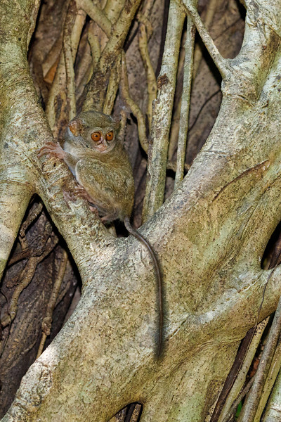 Spectral Tarsiers are the smallest primates in the world