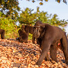 An early morning forage on the beach for this Crested Black Macaque group