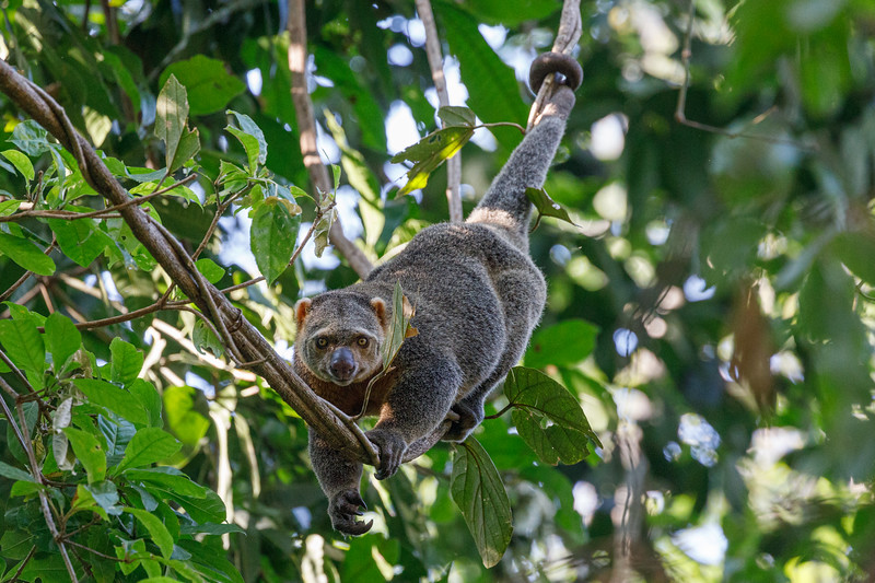 In spite of their name, Sulawesi Bear Cuscus, they are not bears but marsupials