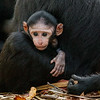 A very young Macaque