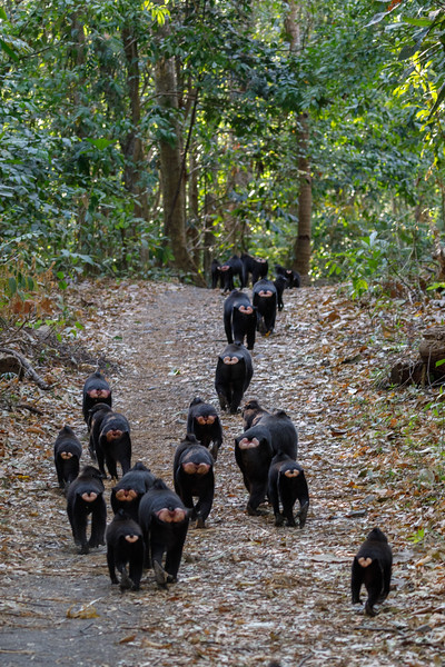 The Macaque group moving off down the main track into the forest