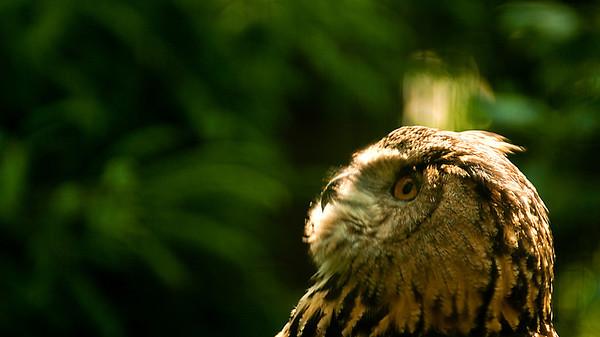 Eagle Owl - Huuhkaja - Bubo bubo  Tulkaa vain lähemmäksi! Siitä välistä vain tänne... Slurps!