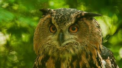 Eagle Owl - Huuhkaja - Bubo bubo