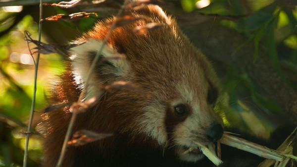 Red Panda - Pikkupanda - Ailurus fulgens