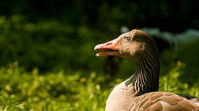 Greylag goose - Merihanhi - Anser anser