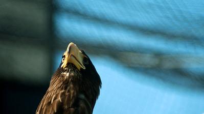 Steller's Sea Eagle - Kuningasmerikotka - Haliaeetus pelagicus  Kuningasmerikotkaa kiinnostivat ylilentelevät lokit, josko joku erehtyisi liian lähelle? Tasty gulls there... Come closer! :o)