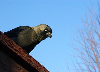 Jackdaw - Naakka - Corvus monedula