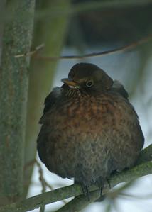 Blackbird, female - Mustarastas, naaras - Turdus merula