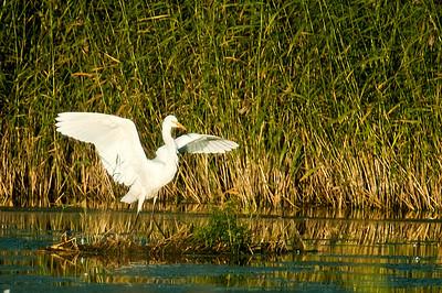 Jalohaikara - Great White Egret - Egretta alba Viikki, 2012
