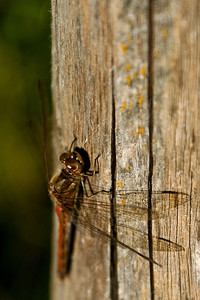 Yellow-winged darter - Elokorento - Sympetrum flaveolum Viikki 2012 (lajitunnistus epävarma)