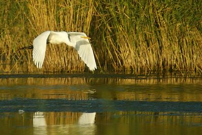 Jalohaikara - Great White Egret - Egretta alba