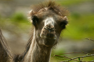 Kaksikyttyräinen kameli - Camelus bactrianus - Domestic bactirian camel