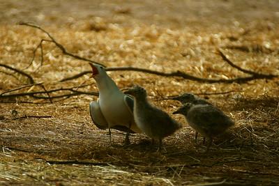 Kalalokki - Larus canus - Common gull