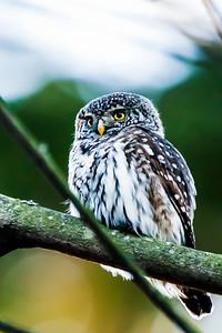 Eurasian Pygmy Owl - Glaucidium passerinum - Varpuspöllö