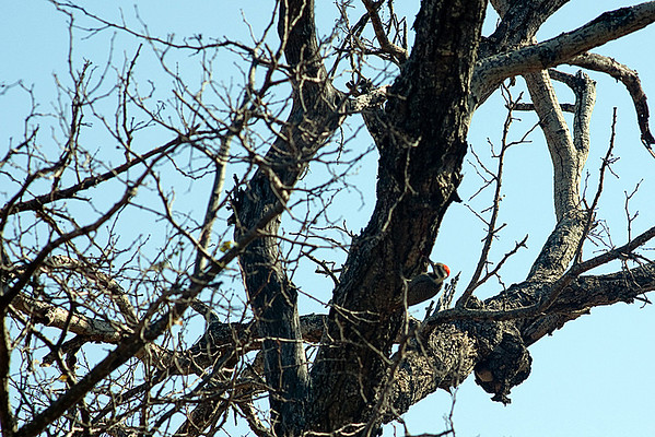 Family: Picidae (woodpeckers, wrynecks)