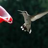 Humming Birds- August 2008 :