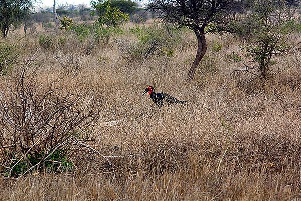 Family: Bucorvidae (ground-hornbills)